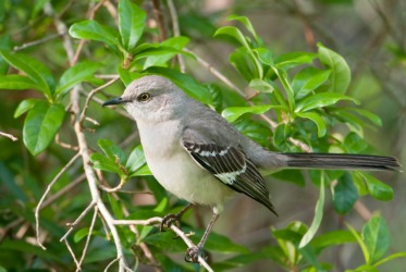 A lovely mockingbird.