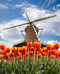 Beautiful tulips surround this windmill in Holland.