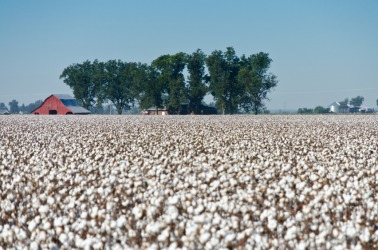 A field of cotton ready for the harvest.