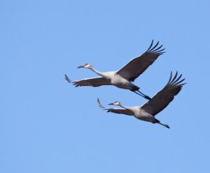 Two cranes in flight.