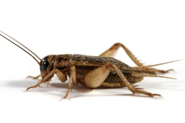 The insect called a cricket.