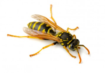 A close up of a yellowjacket.