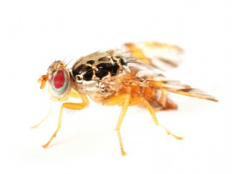 A Mediterranean fruit fly.