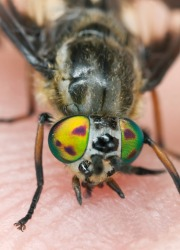 A close up of a deer fly.