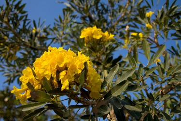 A yellow panicle of a Tabebuia aura tree.