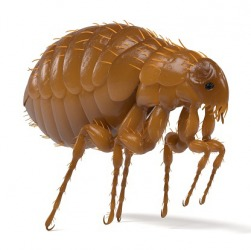 A flea is a parasite.