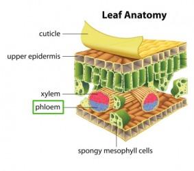 Illustration of leaf anatomy