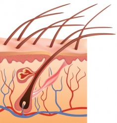 The piliferous layer of skin contains the hair follicles.
