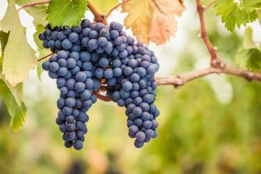 Pinot noir grapes on a vine.