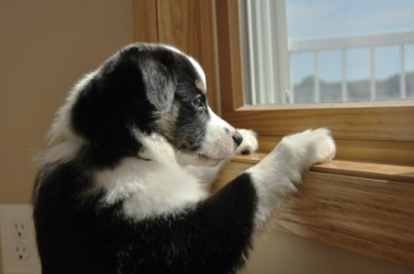 A puppy looking out of a window.