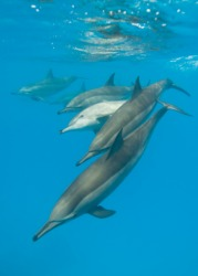 A pod of dolphins.
