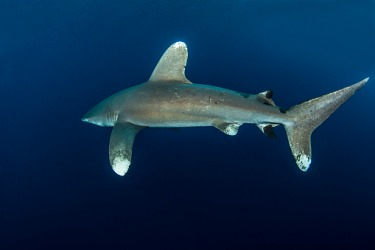 The caudal fin which is the tail of a shark is the most posterior fin.