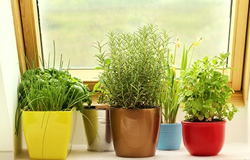 Potted herbs on a windowsill.