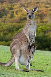 Kangaroo with a baby joey in her pouch.