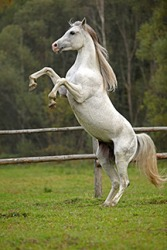 A horse prancing.