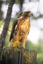 Red-tailed hawks are predatory birds that hunt small mammals such as mice, rabbits and ground squirrels.