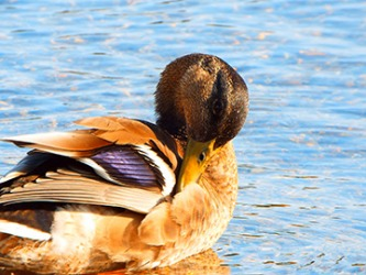 The duck is preening his feathers.