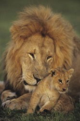 Male lion with cub on a preserve in the Masai Mara National Reserve, Kenya