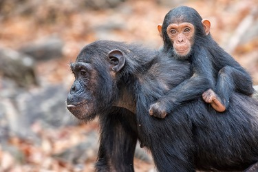 A mother and baby chimpanzee are examples of primates.