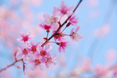 Pink blossoms on a cherry tree.