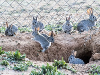 The wild rabbits in Spain tend to proliferate when the winters are mild.