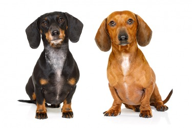 If you want to propagate dachshunds then make sure to have both dogs get a thorough examination with a veterinarian first.