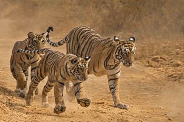 The tigers prowl for their next meal.
