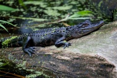 An alligator at rest.
