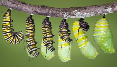 This image shows the process in which a caterpillar forms into a pupa.