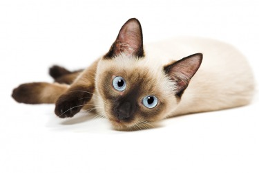 She had her heart set on adopting a purebred Siamese kitten.