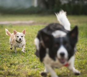 The chihuahua pursues the border collie.