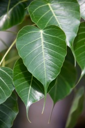 The leaves of the bo tree.