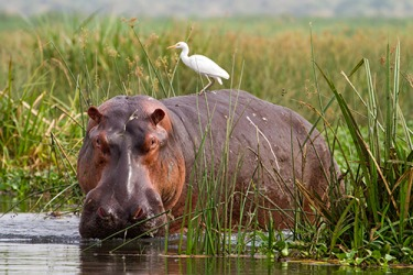 A hippopotamus is standing among the reeds along the bank of the river.