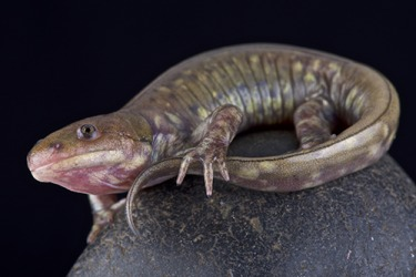 A salamander's regeneration capabilities include regrowing body parts such as limbs and even organs.