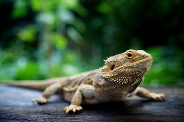 Bearded dragons are a good choice for people who want to try a reptile as a pet.
