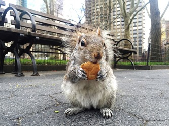 The squirrel resides in Madison Square Park in New York City.