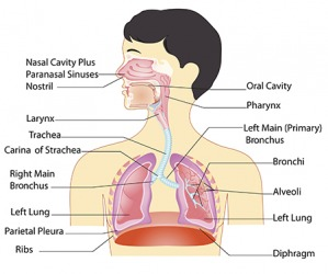 The respiratory system takes oxygen that you breathe from the air and distributes it throughout the body.