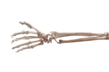 The bones of the human hand and forearm.