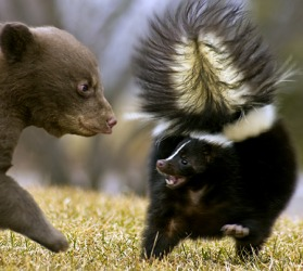 If the bear cub continues to bother the skunk, he might experience the revulsion of the skunk's pungent spray.