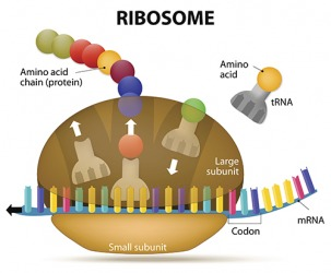 Illustration of a Ribosome