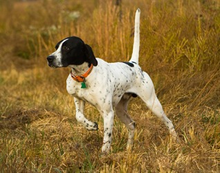 The English Pointer stands rigidly while he points with his nose to indicate the location of the quail for the hunter.
