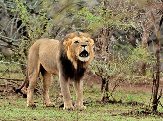 The roar of the lion warned the others in his pride of danger in their territory.