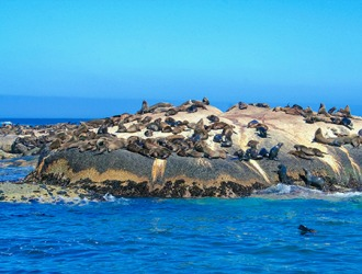 The sea lions gather together in a rookery during breeding season.