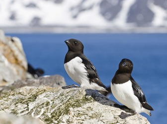 Rotch, also calle the little auk, are small Arctic birds that are about half the size of the Atlantic puffin.