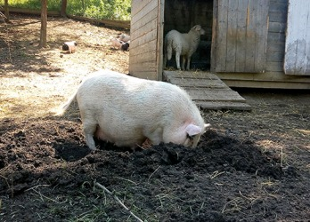 The farm pig likes to rout the ground in search of something to eat.