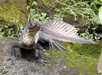 Hydrosaurus is the scientific name for the sailfish lizard which is commonly found in the Philippines and Indonesia.