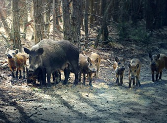 Wild boars, especially mothers with piglets, can initiate a savage attack if they are approached by people.