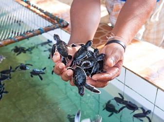 She volunteers at the hatchery because she loves sea turtles and wants to help save them from extinction.