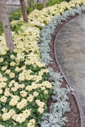 A border of poinsettias in a garden.