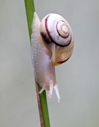 Grove snails are an invasive species and a scourge in certain areas of the United States because they are not native to North America.